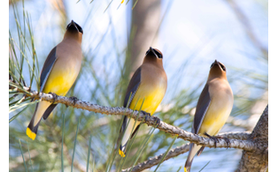 Cedar wax wing bird last look style magazine