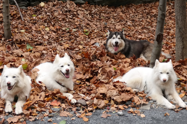 Bill's four huskies