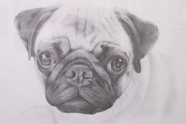 'Pug,' a pencil drawing by Lee Archer.