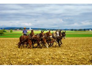 An Amish farmer working his team of draft horses