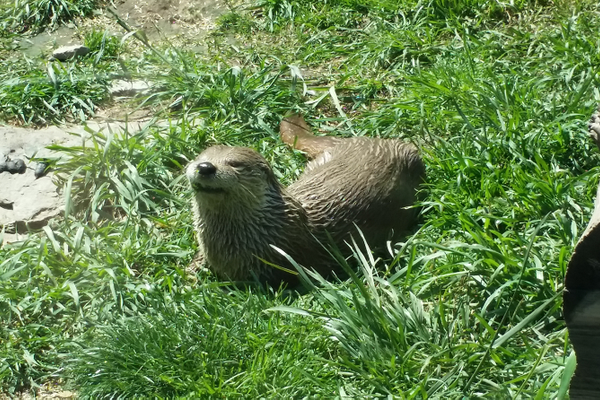 An otter at Grandfather Mountain. Photo by Vanessa Orr