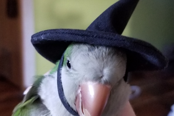 Cookie the Quaker Parrot