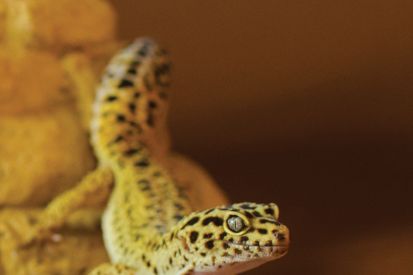 Leopard Gecko at  Nate's Reptile Rescue, photo by C.A.R.M.A.A.