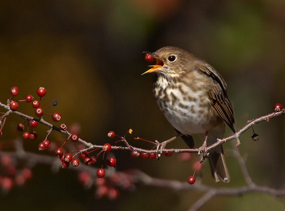 Hermit 20thrush berries 20800 20x 20600
