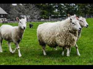 Sheep Shearing and Herding - start May 25 2019 1000AM