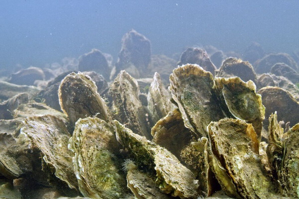 More than 98 percent of the oyster population has been lost