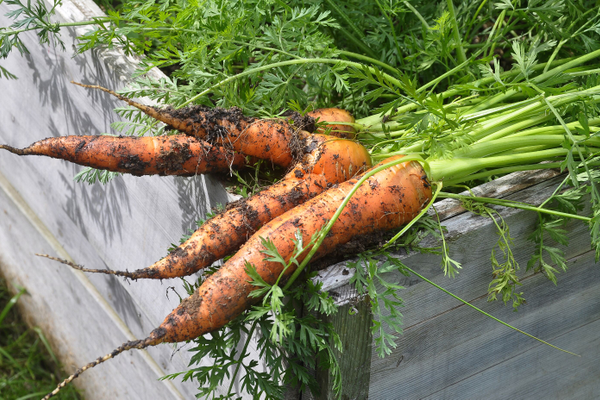 Carrots are a good option for raised garden beds