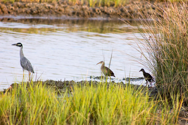 Yellow Crowned Night Heron and possible Clapper Rails