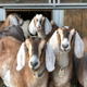 Freedom Farms goats Photo by Amy Paterline