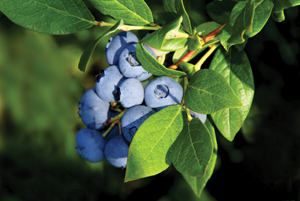 Blueberries full-body protection
