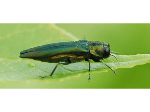 How to Manage the Emerald Ash Borer on Your Property