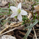 Claytonia 20virginica 38607
