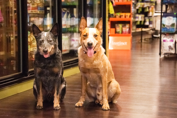 Rescued Australian cattle dogs Bo and Desoto. Photo by Dena Koenig Photography