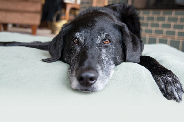 Older pets cognitive dysfunction