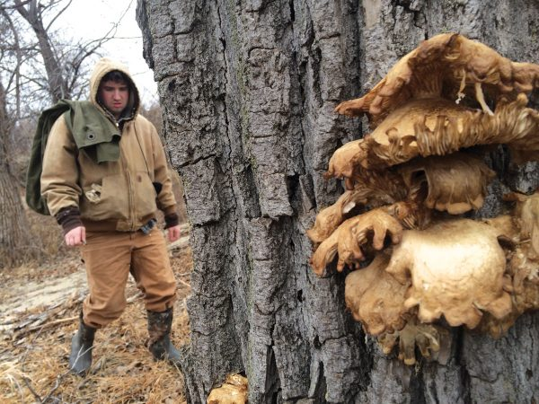 Patrick McGee approaches a tree laden with oyster mushrooms.