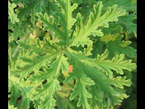 Citronella plant Flickr