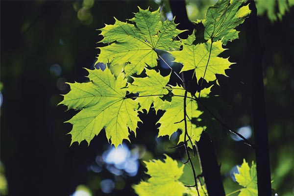 Care for maple trees in Colorado