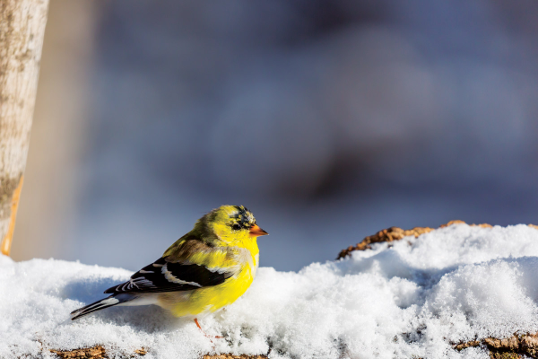small yellow bird in snow