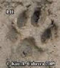 Medium bob cat tracks