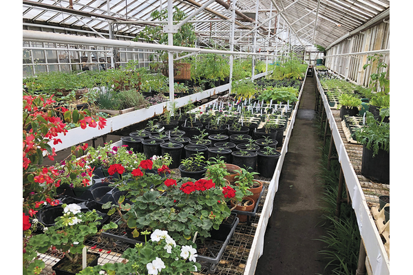 rows of locally grown, greenhouse-started vegetable and flower seedlings inside a greenhouse