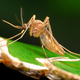 Thumb_mosquito---flickr-creative-commons